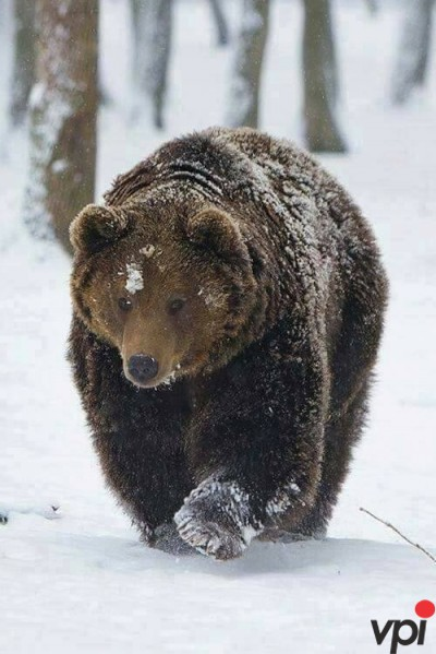 Ursul romanesc