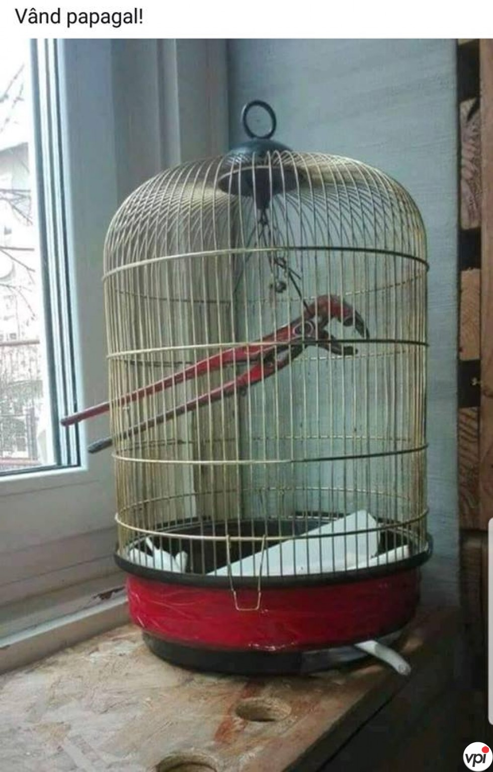 Vând papagal