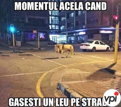 Când găsești un leu pe stradă